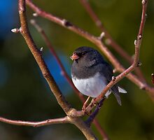Show Me Your Junco by John Absher