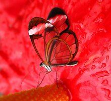 Glasswing on Anthurium by Jo Nijenhuis