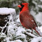Red Cardinal by Gaby Swanson  Photography