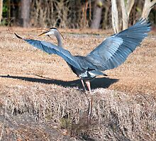 Great Blue Heron Got a Fish and A Twig by imagetj