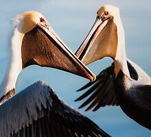 """Chatting Pelicans"" - animated brown pelicans by John Hartung"