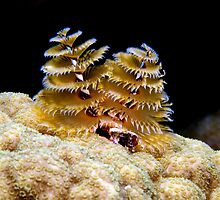 Atlantic Christmas Tree Worm by Sbailey