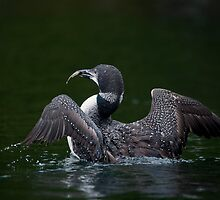 Loon Display by Bill Maynard