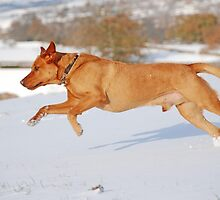 Fox Red Labrador In Action by Mark Bateman