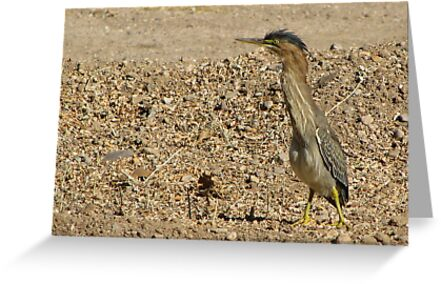 Green Heron (Juvenile) by Kimberly Chadwick