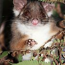 Ring tail Possum by DEREK HILTON