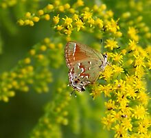 Butterfly and goldenrod by Karen  Rubeiz