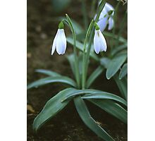 Crimean Snowdrop Closeup Photographic Print