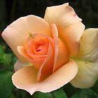 Beautiful peach coloured rose by Daphne Gonzalvez