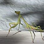 Praying Mantis by SuddenJim