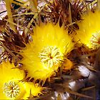 Golden Barrel Cactus  by Clive