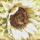 White Sunflower by Brenda Boisvert