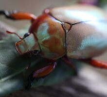 Christmas Beetle time by David  Ashenden