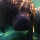Florida Manatee by naturalnomad