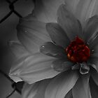 Red Heart in Black World... by Tania Koleska
