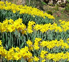 Spring Daffodils by chris-csfotobiz