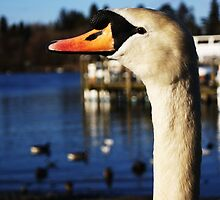 Swan on Lake Windermere by HelenClaire