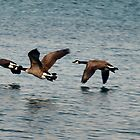 Canada Geese - 1 by Barry W  King