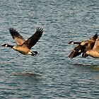 Canada Geese - 2 by Barry W  King
