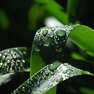 Agapanthus Raindrops by Catherine Davis