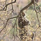 Leopard hangs in tree by MarkySA