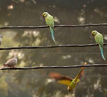 Rose-ringed parakeets and rock pigeons on a wire by Catherine Ames