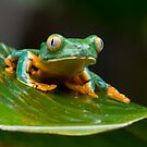 Green Eyed Tree Frog by Raymond J Barlow
