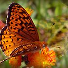 beautiful butterfly by vigor