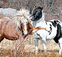 The Wild Ponies of Grayson Highlands by prairiewindlady