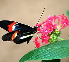 Postman on flower - Heliconius melpomene by Lepidoptera