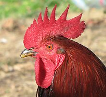 The Red Rooster by branko stanic
