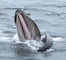 Surface Lunging Humpback Whale II by Gina Ruttle  (Whalegeek)