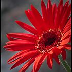 Gerberia Daisy by Ray Wells