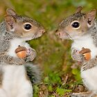 """Squirelling Away"" - eastern gray squirrels with acorns by John Hartung"