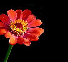 A Single Red Cosmos by Carla Jensen