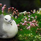 Northern Fulmar by Tom Black