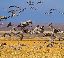 121810 Sandhill Cranes by Marvin Collins