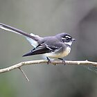 Grey Fantail by Alwyn Simple