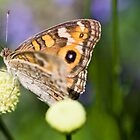Summer butterfly by Adriano Carrideo