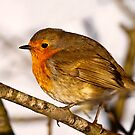 Robin in winter sun by Shaun Whiteman
