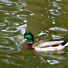 Duck in water by Joe Bashour