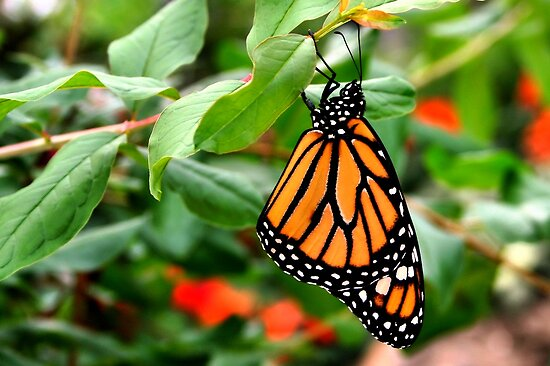 Monarch Butterfly - Danaus plexippus by Lepidoptera