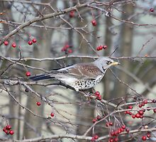 Fieldfare by dilouise