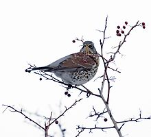 Fieldfare 1 by davejw
