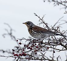 Fieldfare 2 by davejw