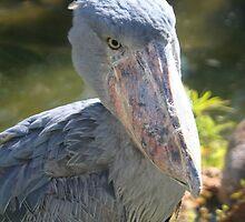 Shoebill Stork at Lowry Park Zoo by Sheryl Unwin
