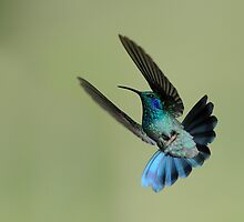 Green VioletearHummingbird in Flight by Raymond J Barlow