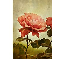 Rainy Day Rose... Photographic Print