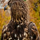Young Bald Eagle 2 by Sue Ratcliffe