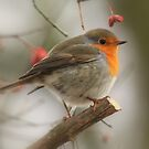 The European Robin (Erithacus rubecula) 2 by DutchLumix
